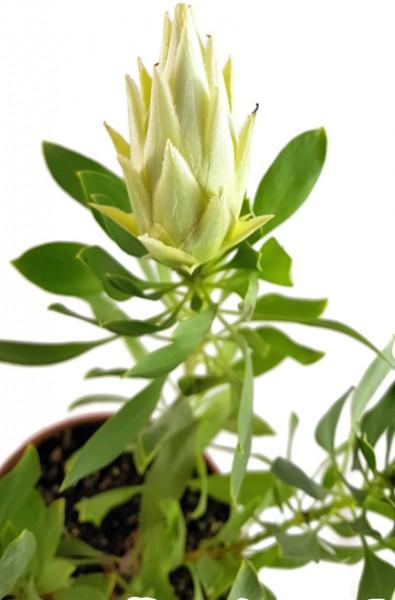 "Protea ""White Crown"" - Federbusch"
