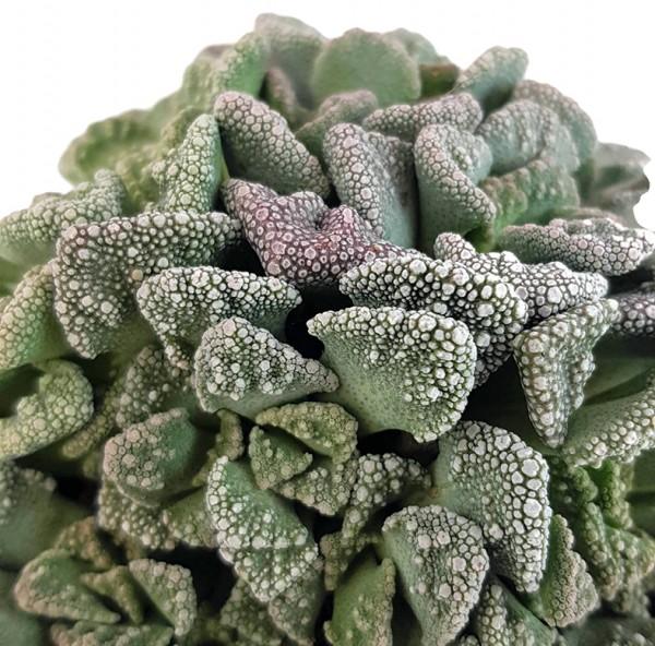 Mittagsblume titanopsis calcarea sukkulente dickblatt Lithops, lebender stein tuff Pleiospilos nelii kaktee selten rar rarität Dekoratiuon interieur einrichtung zimmerpflanze zimmer wohnung