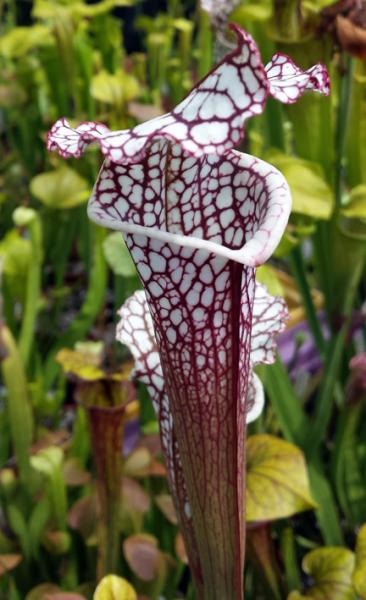 Sarracenia Leucophylla 'Cronus' - 'Titan' MK L47