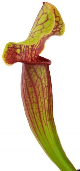 Sarracenia X 'Tess'