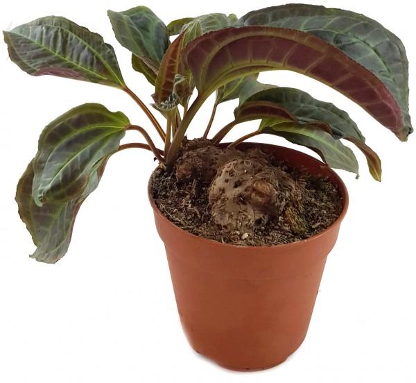 Monolena primuliflora - Ameisenpflanze