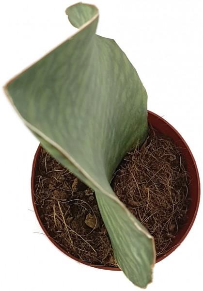 Sansevieria masoniana Mason's Congo - Bogenhanf