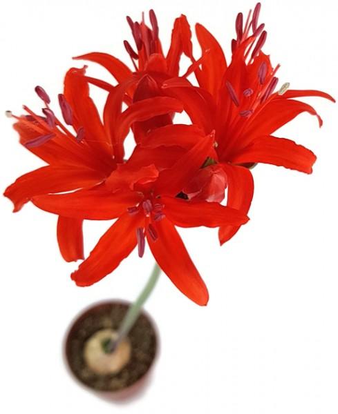 Nerine sarniensis - Blumenzwiebel