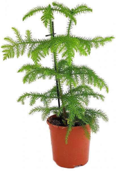 Araucaria heterophylla - immergrüne Zimmertanne