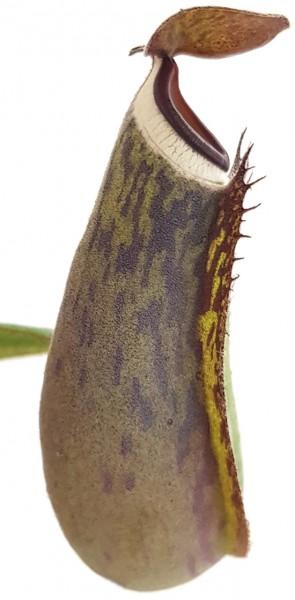 Nepenthes albomarginata - Tiefland