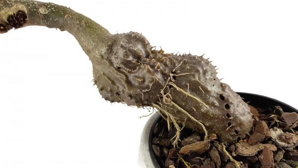 Myrmecodia tuberosa - Ameisenpflanze Samen