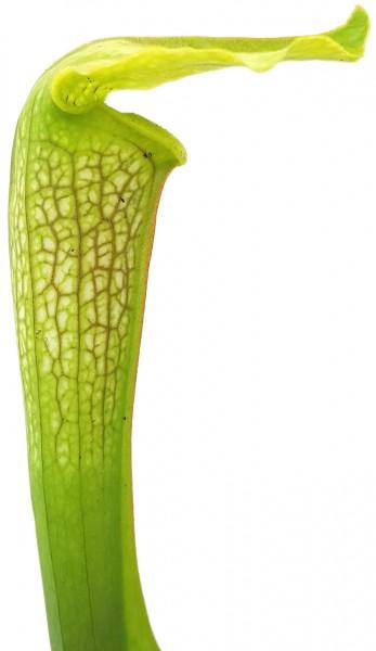 Sarracenia X cv. 'Hummer's Hammerhead'
