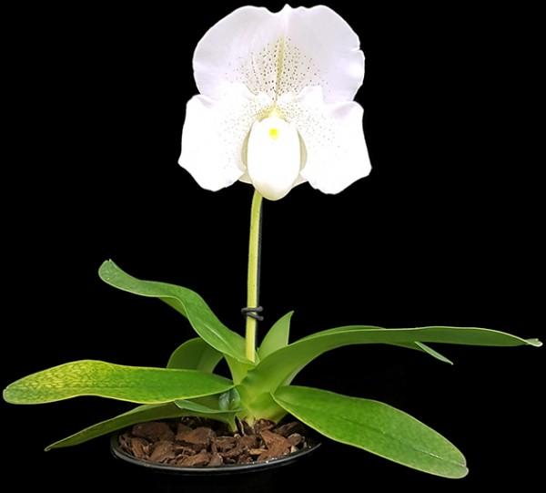 """Paphiopedilum """"Mrs. White"""" - weiße Frauenschuhorchidee"""