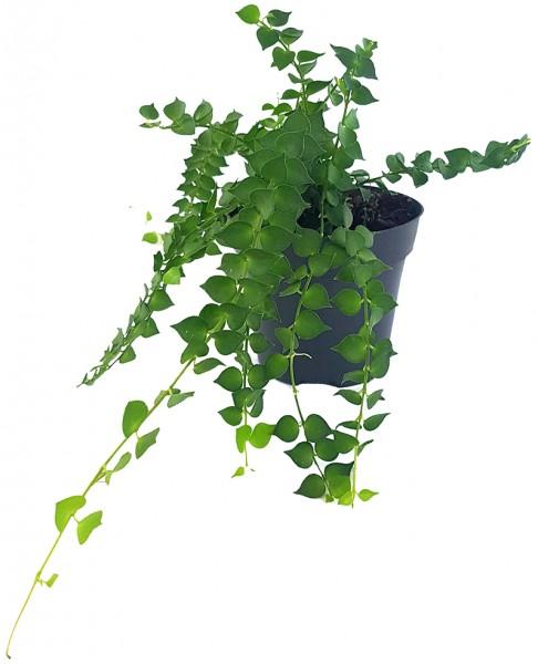 Dischidia ruscifolia - herzblättrige Urnenpflanze