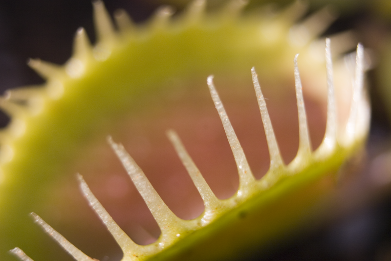 Dionaea Muscipula Venusfliegenfalle Online Bestellen Fangblatt