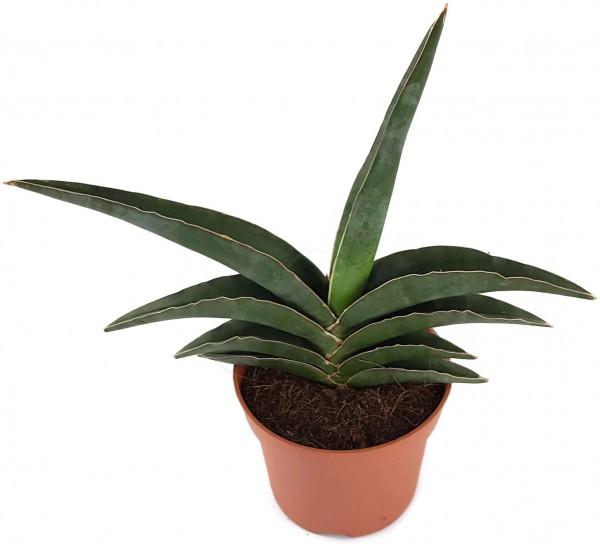 Sansevieria robusta - spitzer Bogenhanf