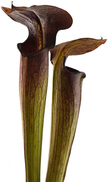 Sarracenia Alata 'Red Lid' - FB A01