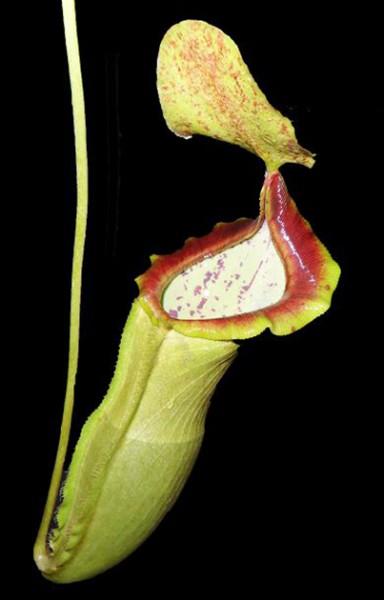 Nepenthes spathulata x campanulata BE-3796