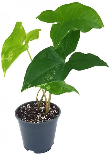 Syngonium 'podophyllum albo' variegata - grün-weiße Purpurtute