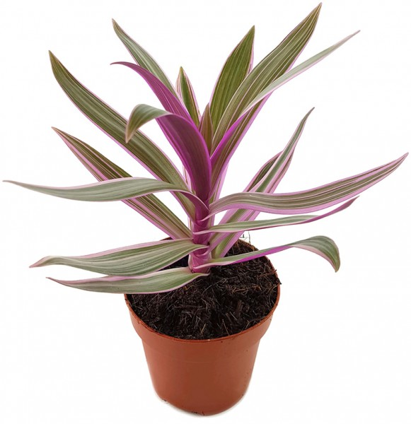 Tradescantia Spathacea Purpurblättrige Dreimasterblume Fangblatt