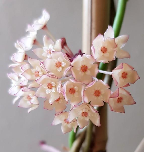"""Hoya macrophylla """"Variegata"""" - Porzellanblume"""