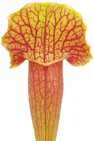 Sarracenia (x Swaniana) X (x Michelliana)