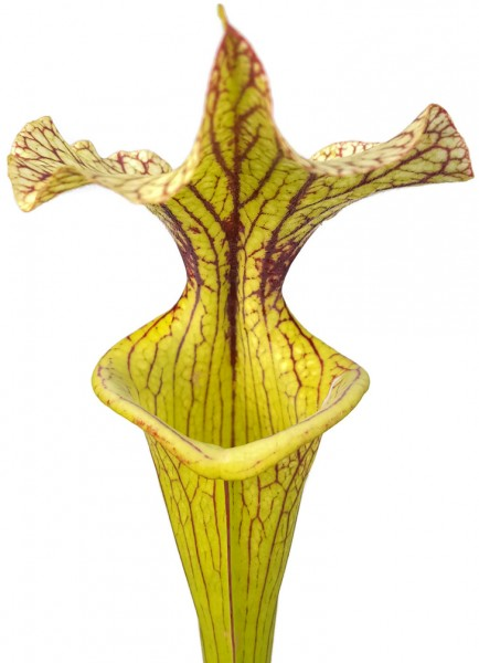 "Sarracenia X Moorei ""Black Veins"""