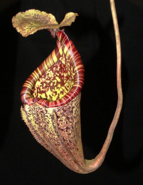 Nepenthes burbidgeae BE-3848