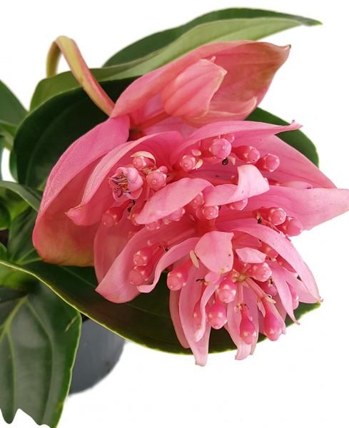 Medinilla magnifica exotische Zimmerpflanze