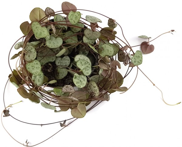 Ceropegia linearis ssp. woodii - Leuchterblume