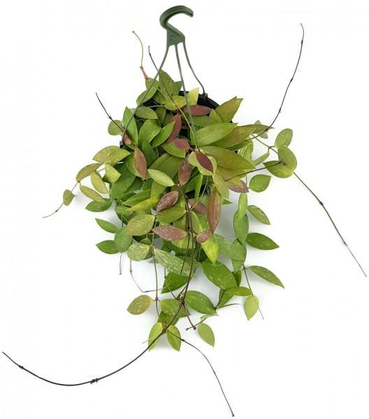 Hoya lacunosa - Wachsblume