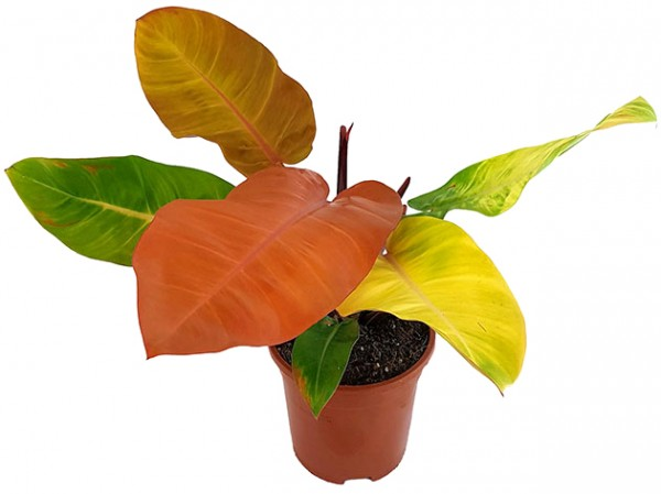 Philodendron 'Prince of Orange' - herbstlicher Baumfreund