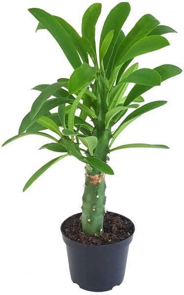 Euphorbia neriifolia - Oleander-Wolfsmilch