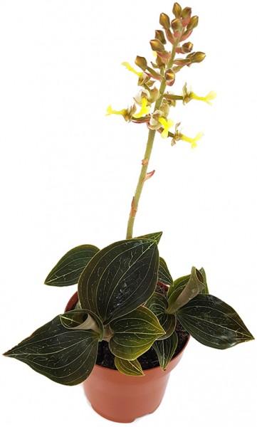 Aneoctochilus chapaensis - gelbblütige Juwelorchidee