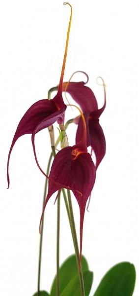 Masdevallie - Bellavallia zarte Orchidee