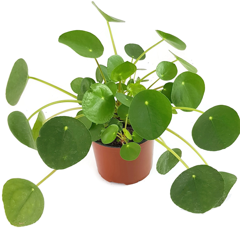 GlГјckspflanze