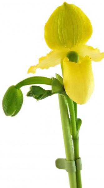 orchidee zimmerpflanze pflanze wohnung küche bad Arbeitszimmer büro wellness oase dekoratione interieur einrichtung wohnzimmer stube schlafzimmer selten rarität blühpflanze gelbe blüte hotel zimmer foyer rezeption praxis warteraum unternehmer