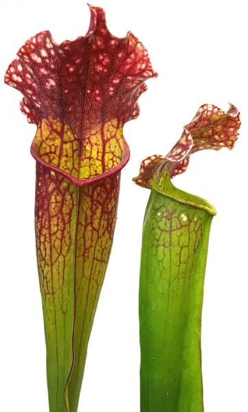 Sarracenia (xMitchelliana) X Leucophylla (Klon 3)