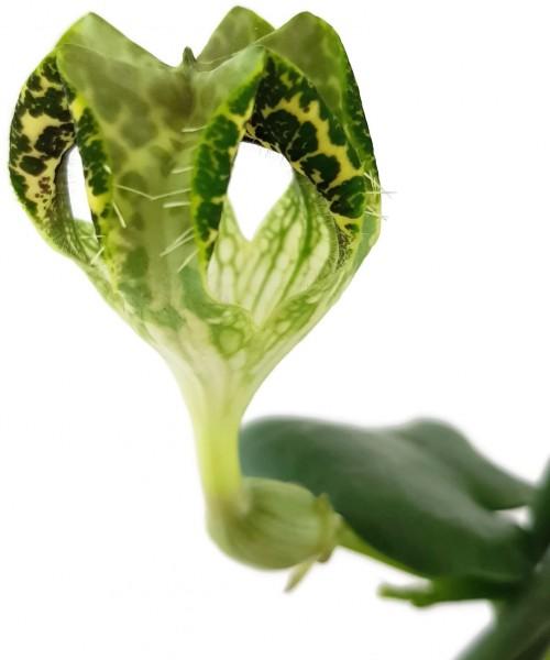 Ceropegia sandersonii Hybride 'DARK' - Leuchterblume