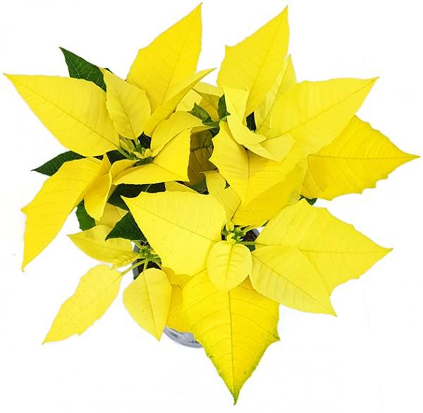 Euphorbia pulcherrima 'Golden Glow' - goldener Weihnachtsstern