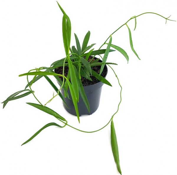 Hoya Shepherdii - Porzellanblume
