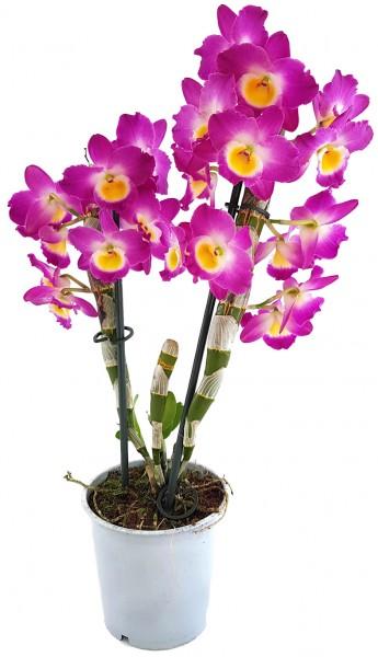 Dendrobium nobile star class Akatsuki - Orchidee