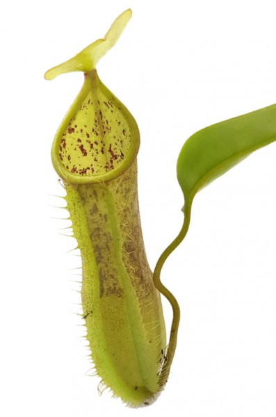 Nepenthes X 'Louisa'