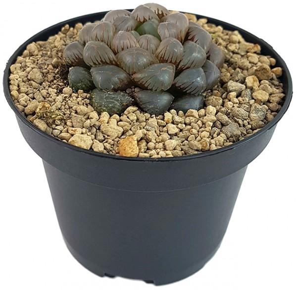 Haworthia obtusa 'Crystal' - Sukkulente