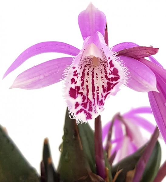 Pleione humilis Hybride - rosa Tibetorchidee