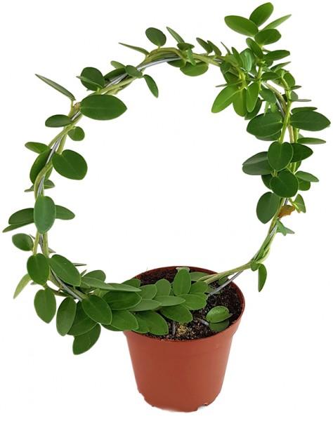 Hoya Cumingiana - Porzellanblume