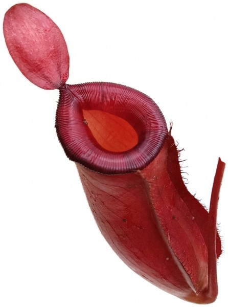 Nepenthes im Glas