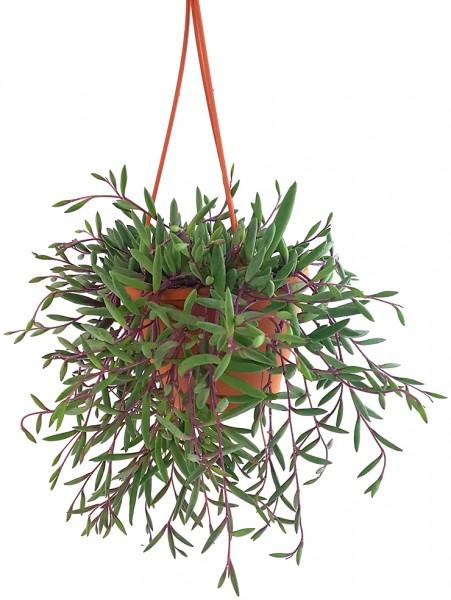 Senecio herreianus 'Purple Flush' - violett-grüne Erbsenpflanze