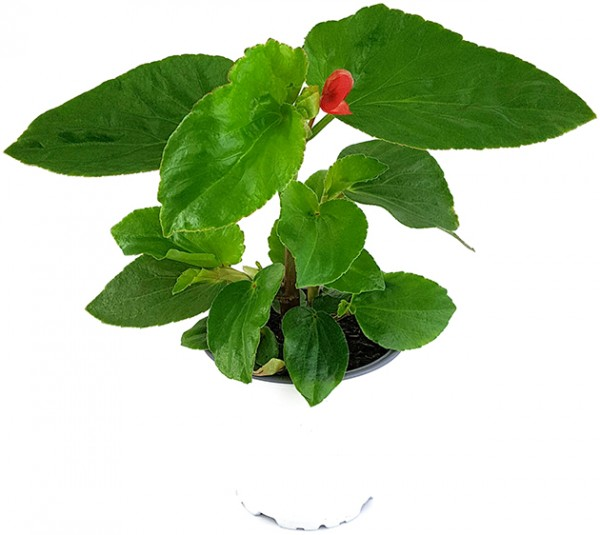 Begonia 'Dragon Wing Red' - Drachenflügel-Begonie