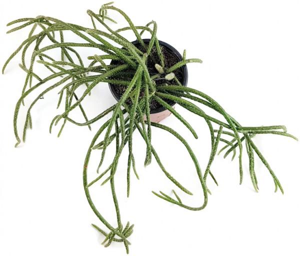 Rhipsalis baccifera ssp. horrida Binsenkaktus kaktus sukkulente hängende zimmerpflanze exotisch