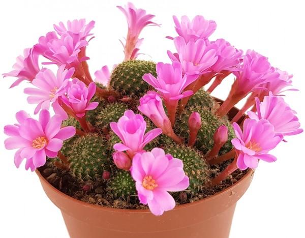 Rebutia perplexa - rosafarbene Blüten