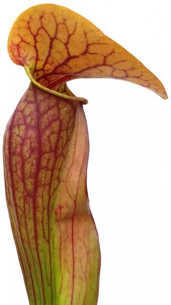 Sarracenia Purpurea ssp. Purpurea X Oreophila