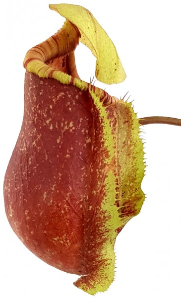 Nepenthes ventricosa x rafflesiana BE-3733