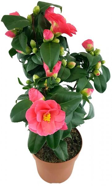 Camellia 'Principessa Baciocchi' - japanische Kamelie