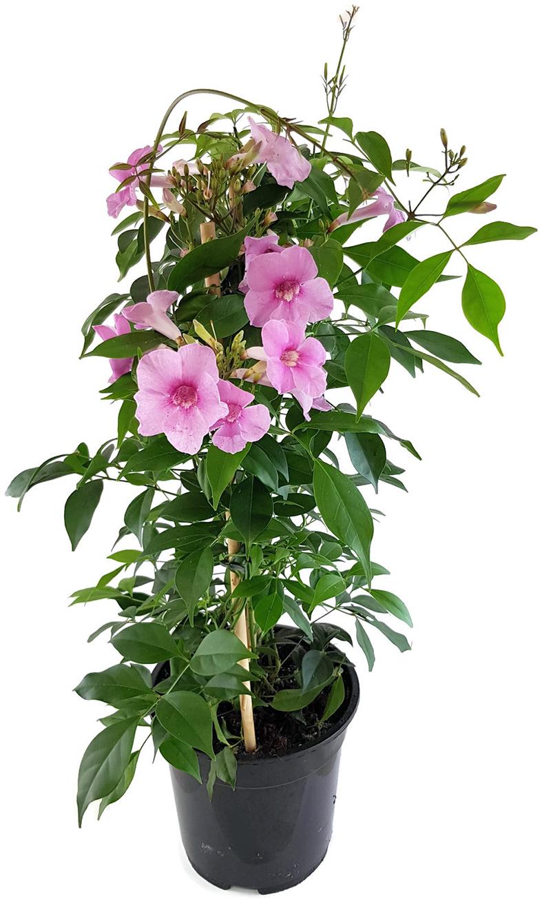 exotische Blüten Rarität Saatgut seltene Garten Balkon Pflanze JASMIN